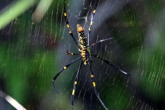 Northern_golden_orb_weaver_Nephila_pilipes-wikipedia